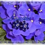 Blu stars